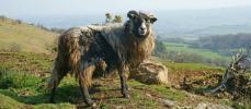 Devenez gardien de troupeau de moutons sur une île écossaise